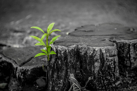 New growth from old concept. Recycled tree stump growing a new sprout or seedling. Aged old log with warm gray texture and rings. Young tree with green leaves and tender shoots. - Image Banco de Imagens