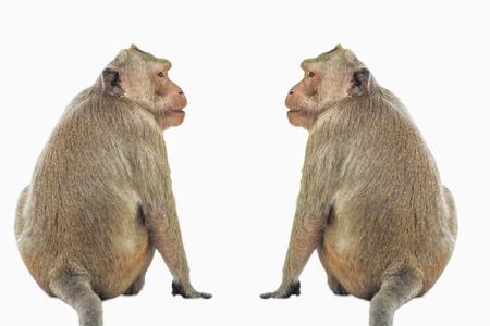 Mono macaco cangrejero aislado sobre fondo blanco. Foto de archivo