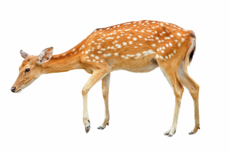 Sika Deer in front of white background, isolated. The deer has turned a head and looks in a camera Reklamní fotografie