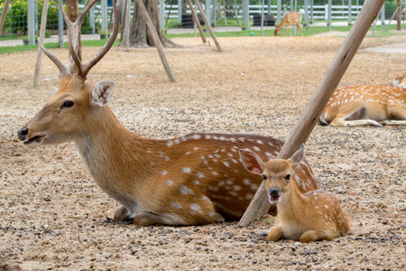 family deer in the farm. Relax time on day. image
