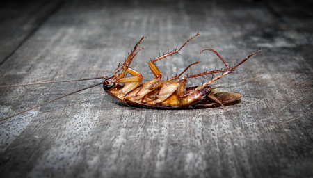 Roaches lie dead on wooden floor, Dead cockroach ,Close up face , Close up roaches 스톡 콘텐츠