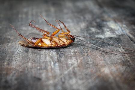 Gli scarafaggi giacciono morti sul pavimento di legno, scarafaggi morti, faccia da vicino, scarafaggi da vicino Archivio Fotografico