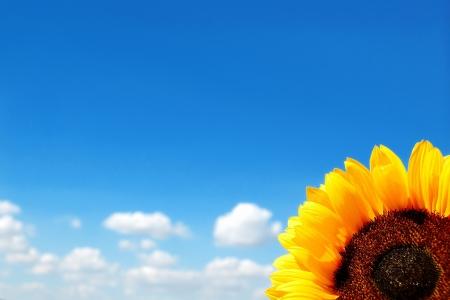 흐린 푸른 하늘의 배경에 해바라기 스톡 콘텐츠