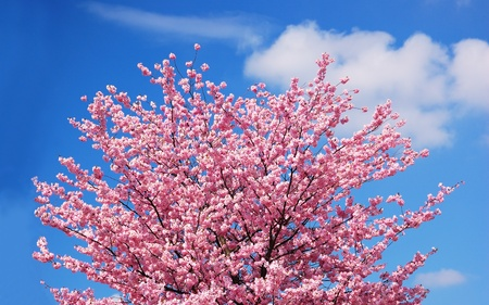 Blooming cherry tree against a cloudy blue sky photo