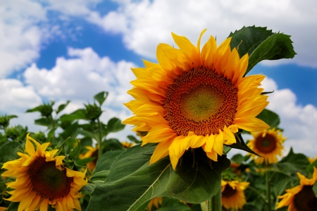 Sunflowers on a background of the cloudy blue sky Stock Photo - 13847983