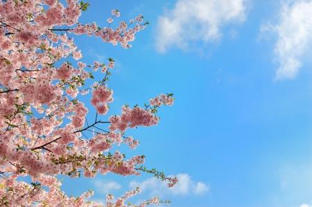 흐린 푸른 하늘을 벚꽃 분기 피