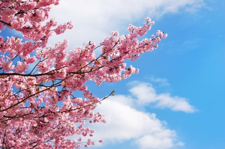 Blooming cherry tree branches against a cloudy blue sky photo