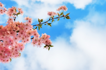 Blooming cherry tree branches against a cloudy blue sky Stock Photo