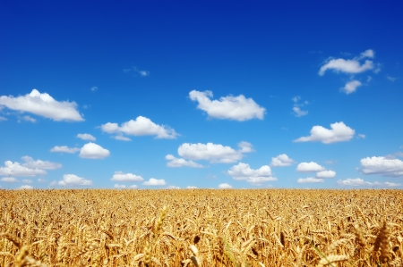 Golden wheat field on a background of the cloudy blue sky photo