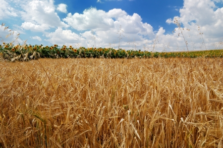 Golden wheat on a background of the cloudy blue sky and sunflowers Stock Photo - 14047667