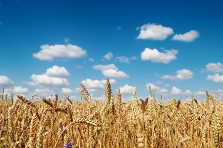 Golden ripe wheat field against a cloudy blue sky  photo