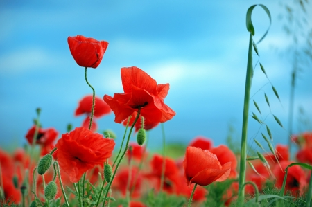 Wild red poppies against a blue sky photo