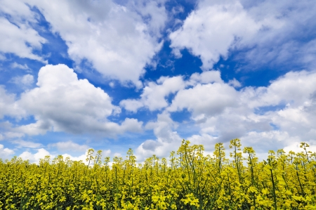 dramatically: A close-up view of rapeseed field under dramatically overcast sky