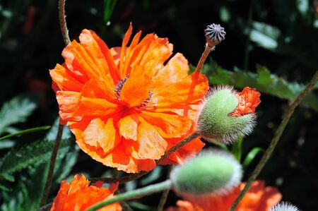Close-up of wild red poppies on bright sunny day photo