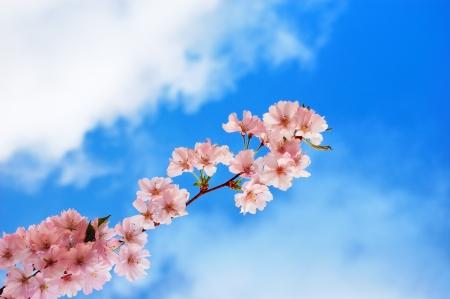 Blooming rama de un árbol de cerezo contra un cielo azul nublado