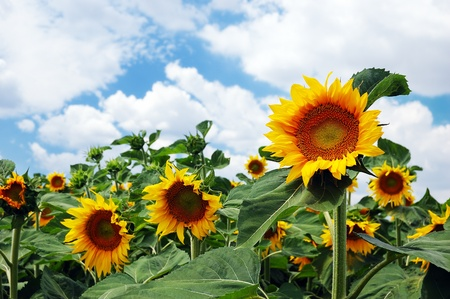 Field of sunflowers on a background of the cloudy blue sky Stock Photo - 14437472