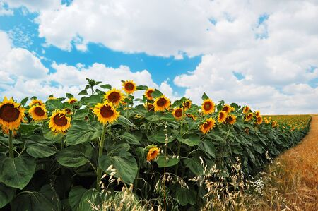 Field of sunflowers on a background of the cloudy blue sky photo