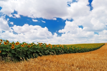 Field of sunflowers on a background of the cloudy blue sky Stock Photo - 14437479