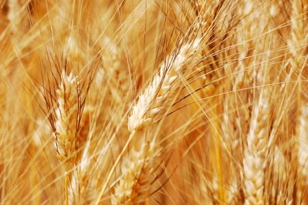 corn fields: Golden wheat ears closeup