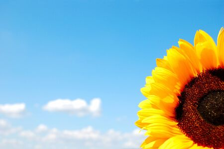 Sunflower on a background of the light blue sky Stock Photo - 14437453