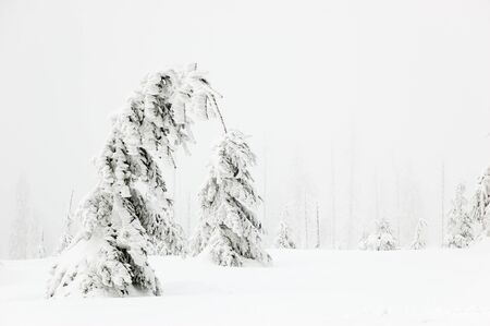 Winter landscape with snow-covered fir trees in foggy day photo
