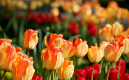 Softly colored yellow-red tulips in the evening sunlight  photo