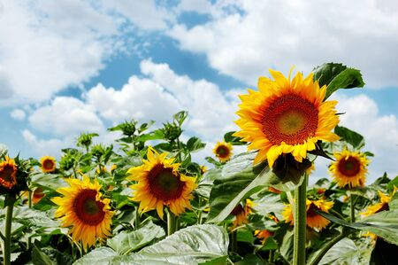Field of sunflowers on a background of the cloudy blue sky Stock Photo - 14506545