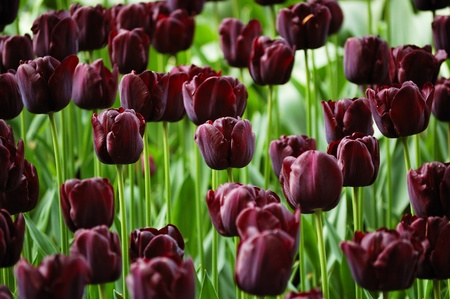 marvellous: Flower-bed of unusually colored dark purple tulips