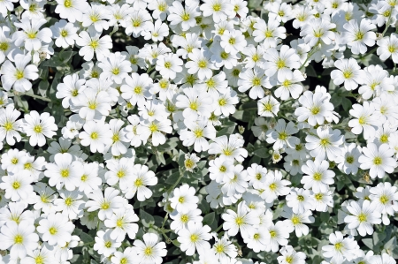 Flowerbed of white dianthus flowers, great for background photo