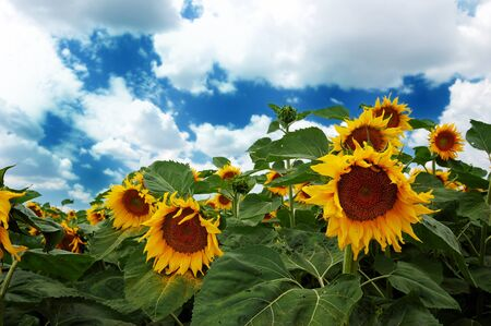 Sunflowers before thunderstorm Stock Photo - 14555100