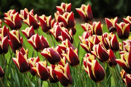 unusually: Flower-bed of unusually colored yellow-garnet tulips Stock Photo