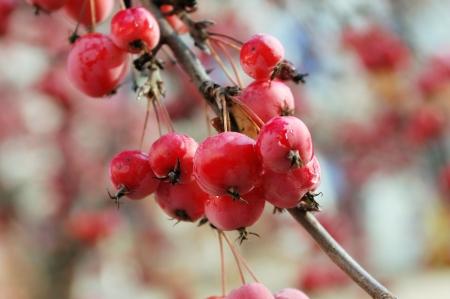 흐린 배경에 잘 익은 빨간 과일의 무리와 함께 크랩 애플 트리의 분기