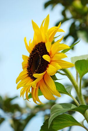 Ripe sunflower against a blue sky Stock Photo - 14659305