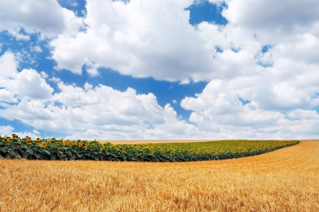 Row of sunflowers in a golden wheat field against a cloudy sky Stock Photo - 14660053