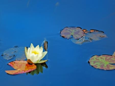White water-lily on dark water