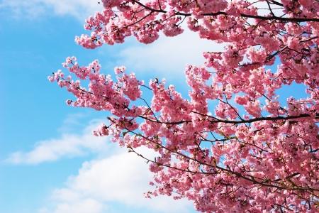 흐린 푸른 하늘을 피는 벚꽃 나뭇 가지