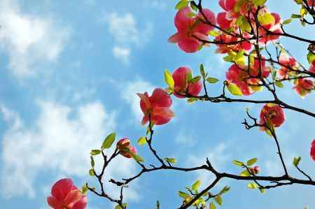 Blooming magnolia tree branches against a picturesque cloudy sky