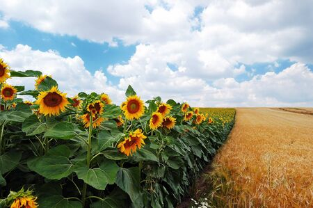 Field of sunflowers on a background of the cloudy blue sky Stock Photo - 14660036
