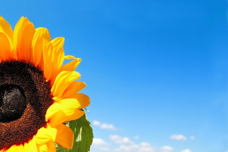 Ripe sunflower on a background of the cloudy blue sky Stock Photo - 14659873