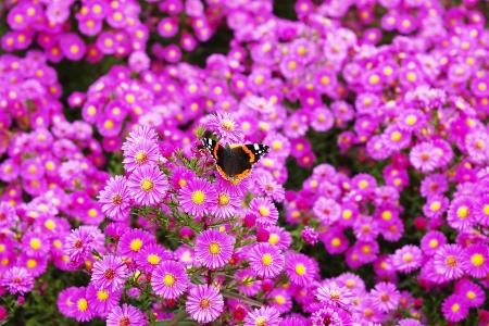 레드 제 독 나비와 뉴 잉글랜드 Asters의 꽃 침대