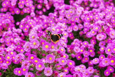 lance shaped: Flower-bed of New England Asters with Red Admiral Butterfly Stock Photo