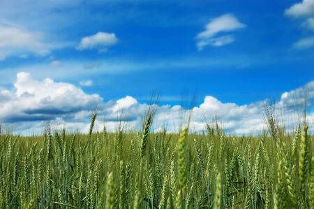 Colorful green field of unripe wheat with cloudy blue sky photo
