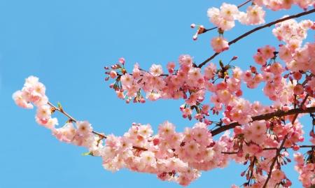Bloeiende cherry tree takken tegen een heldere blauwe hemel