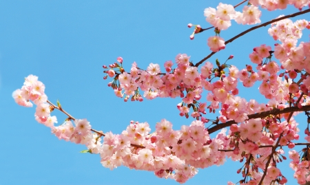 Blooming cherry tree branches against a clear blue sky