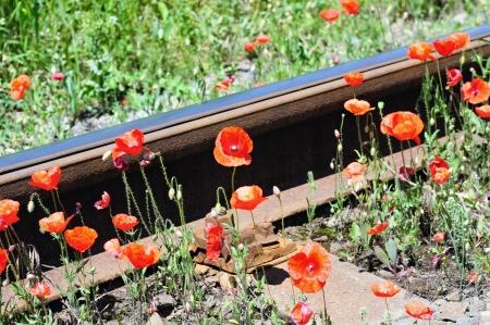 """Wilde rote Mohnblumen in der Nähe Bahnhof. """"Natur und Industrie""""-Konzept. Standard-Bild - 14665127"""