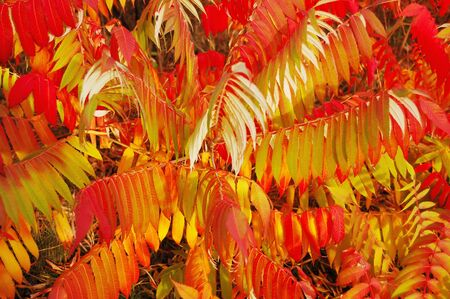 staghorn: Branches of Staghorn Sumac tree with varicolored leaves