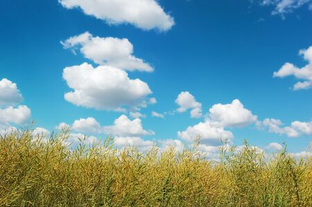brushwood: Countryside landscape with yellow-green brushwood against a picturesque cloudy sky on a perfect sunny day