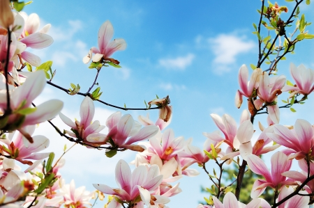 Branches of flowering magnolia tree against a cloudy blue sky Stock Photo