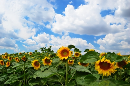 Sunflowers on a background of the cloudy blue sky Stock Photo - 18650456