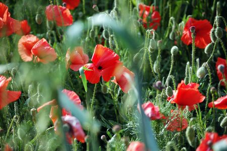 Wild red poppies on bright sunny day photo